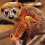 Лицом к лицу с природой: Рыжебрюхий лемур (Eulemur rubriventer) из семейства маки