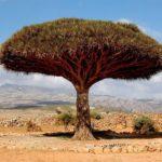 Лицом к лицу с природой: Драконово дерево