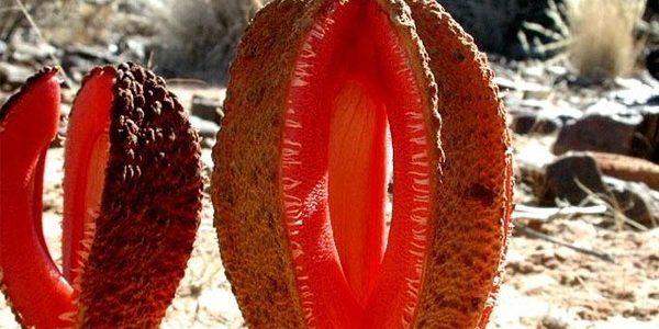 Интересные факты из мира природы: Гиднора африканская