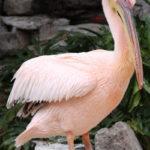 Интересные факты из мира природы: Розовый пеликан (лат. Pelecanus onocrotalus)