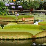 Интересные факты из мира природы: Виктория амазонская