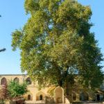 Выбери «Европейское дерево года – 2021»