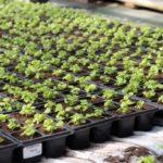 Детский эколого-биологический центр реализует рассаду овощных культур